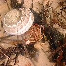 Ordinary Seashell Four by Robert Phillips