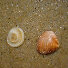 Dog Cockle Seashell One by Robert Phillips
