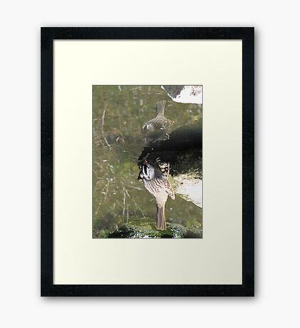 White-crowned Sparrow ~ Topsy Turvy! Framed Print