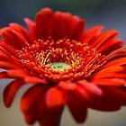 Just A Gerbera by Lynne Morris
