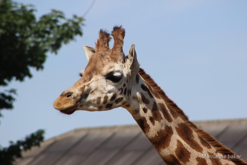 Giraffe Photography by Marrianne baker