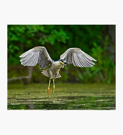 Night Heron flight Photographic Print