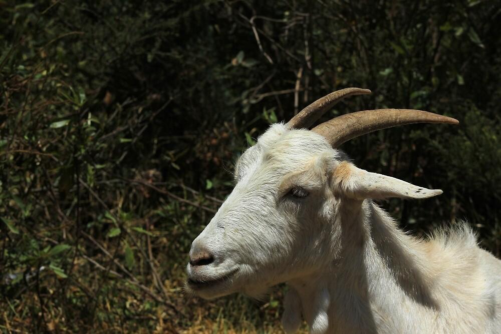 White Goat Standing by rhamm