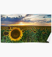 Sunflowers Of Golden Hour Poster