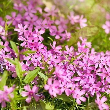 Phlox subulata pink flowering by ArlettaCwalina