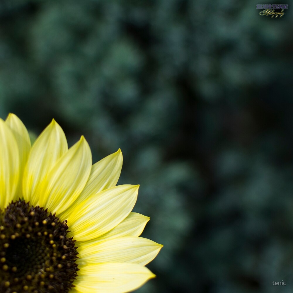 Sunflower Corner by tenic