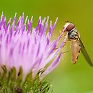 Marmalade Hoverfly on Thistle Flower by kernuak
