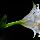SIMPLICITY - THE SPIDER LILY by Magriet Meintjes