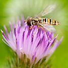 Marmalade Hoverfly by kernuak