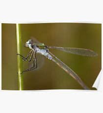 """""""How do I look?"""" said the Emerald Damselfly  Poster"""