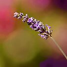MY LAVENDER  IN COLOR by RoseMarie747
