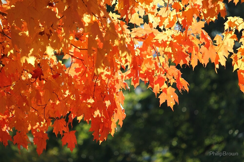 Fall Leaves by PhilipBrown