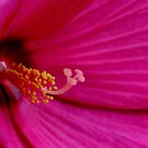 Red Hibiscus   by mikrin