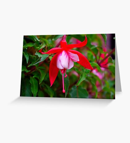Fuchsia   #1 Greeting Card