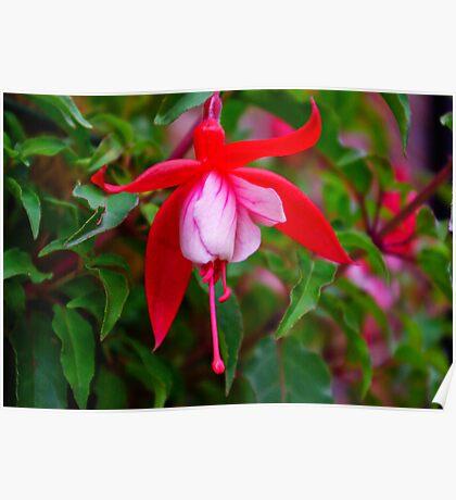 Fuchsia   #1 Poster