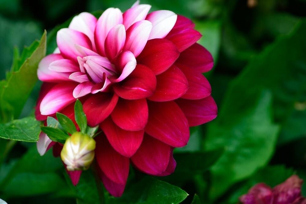 Flower full bloom by prettykittyvi