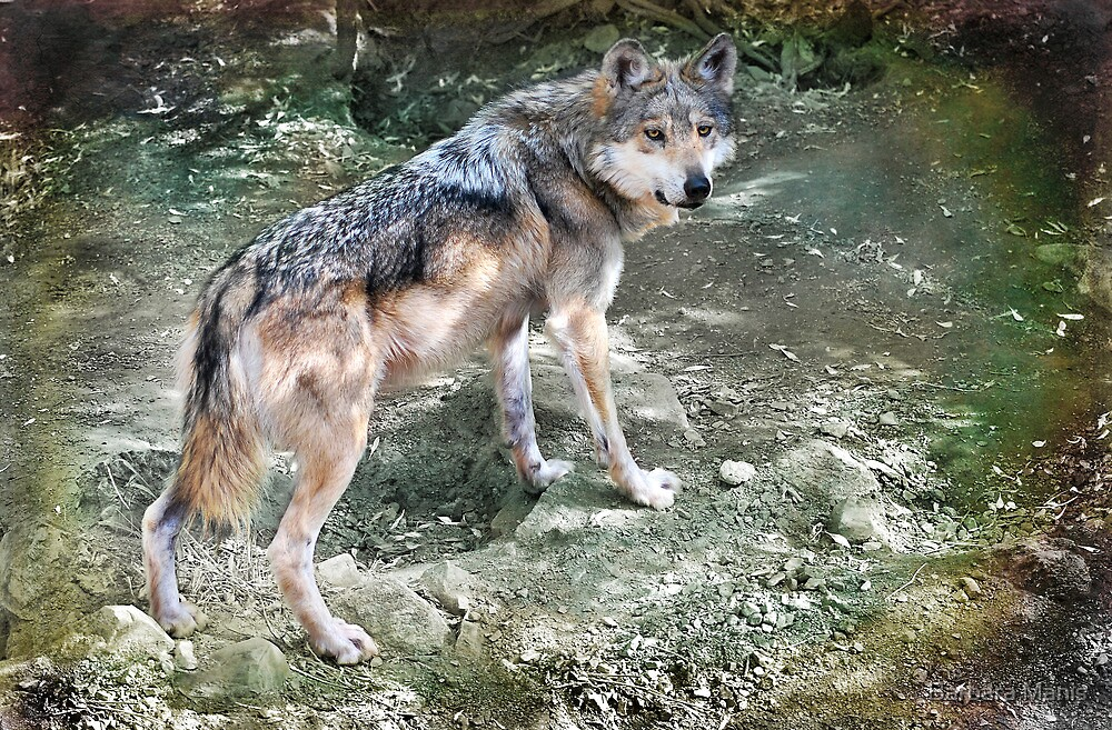 Mexican Wolf by Barbara Manis