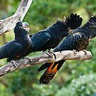 Laughing Red Tail Black Cockatoos by Chris  Randall