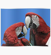 Red Parrots Poster
