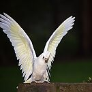Little Corella just landed by Bev Pascoe