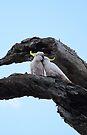 Cockatoo Love by Amy Dee
