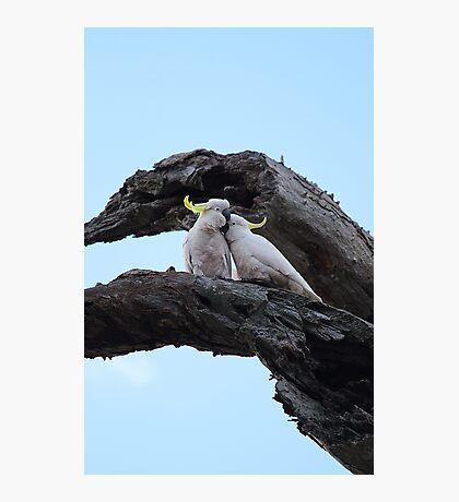 Cockatoo Love Photographic Print