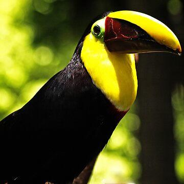 Toucan - Tucan by guytsch