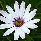 Pink Tipped Daisy by lynn carter