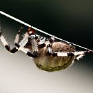 Spider by Karri Klawiter