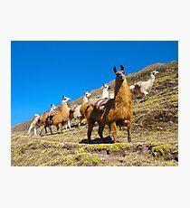 llamas rule the road  Photographic Print