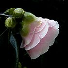 baby pink by Helenvandy