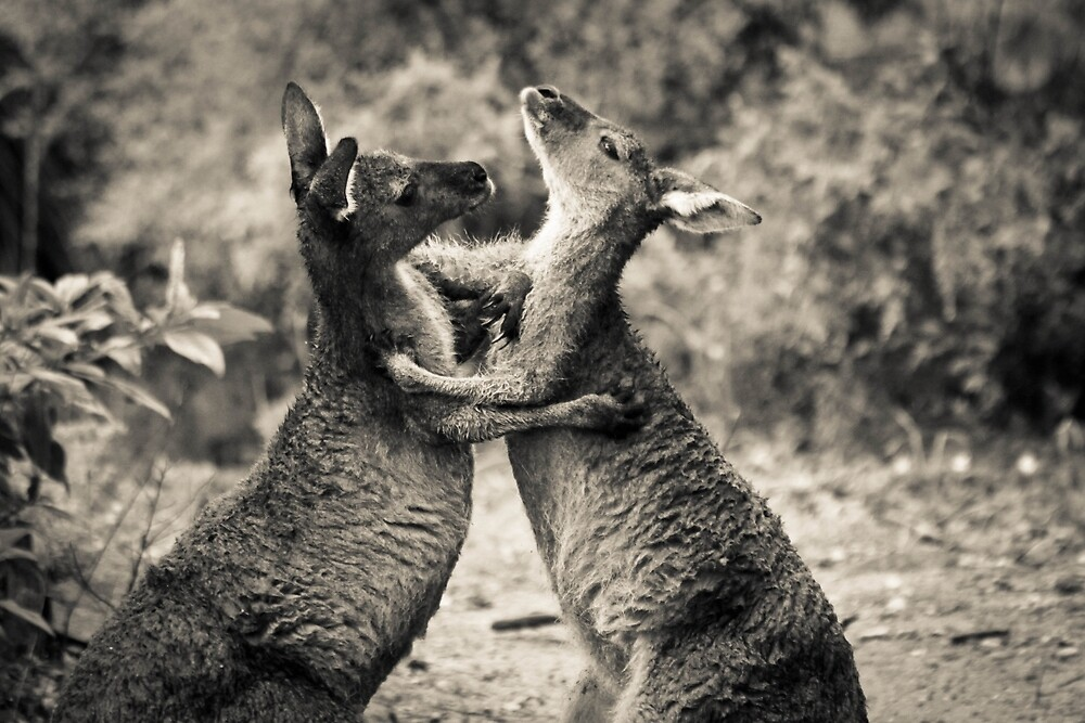 Fighting Kangaroo's, Perth hill's, Western Australia by Marc Russo