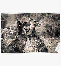 Fighting Kangaroo's, Perth hill's, Western Australia Poster