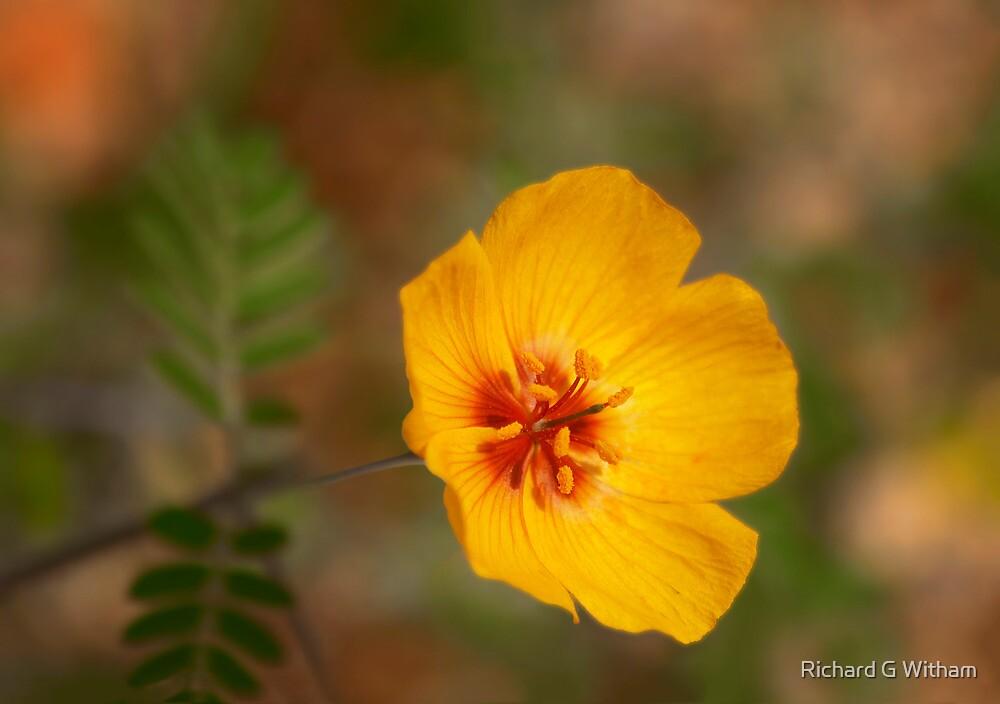 Arizona Poppy by Richard G Witham