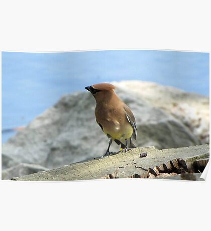 Waxwing by the Water Poster