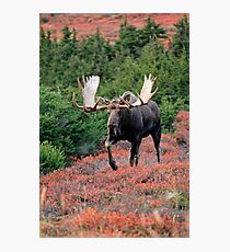 Bull Moose in Autumn Photographic Print