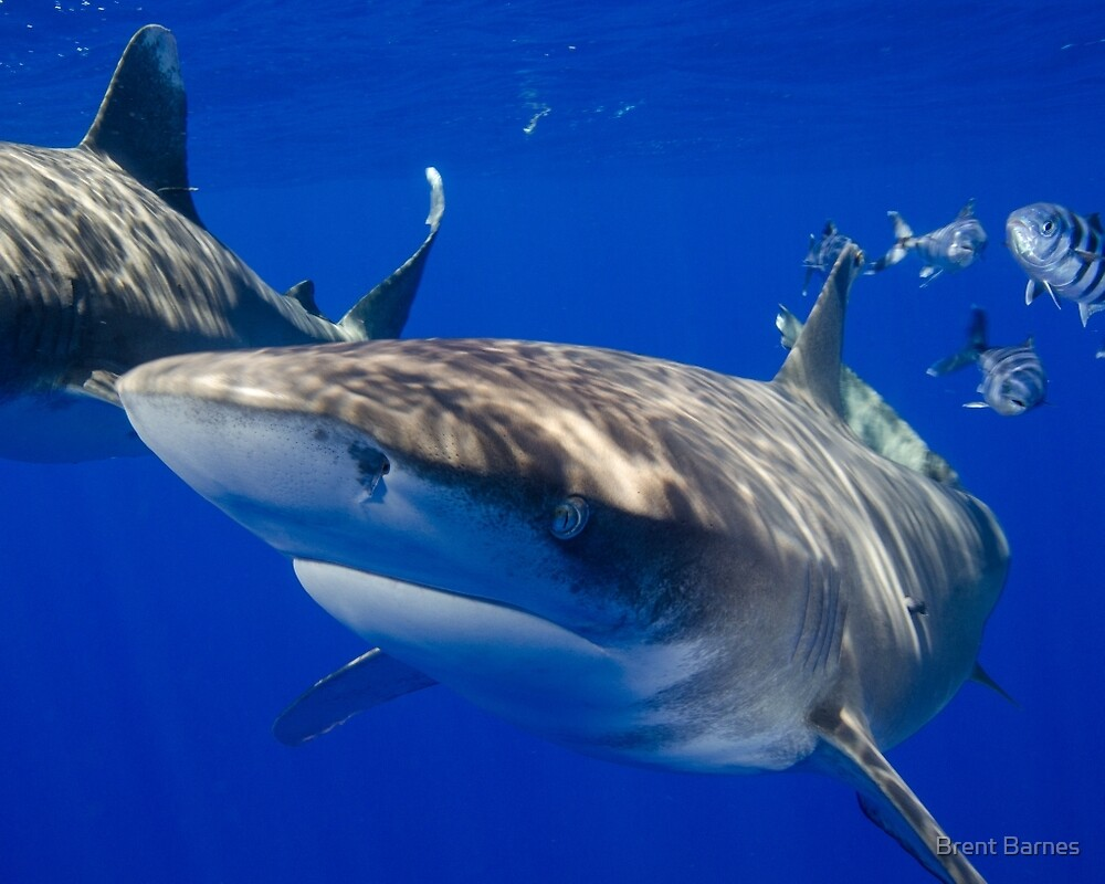 Close Encounter With An Oceanic White Tip Shark by Brent Barnes