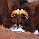 Musk Ox Head to Head by Tim Grams