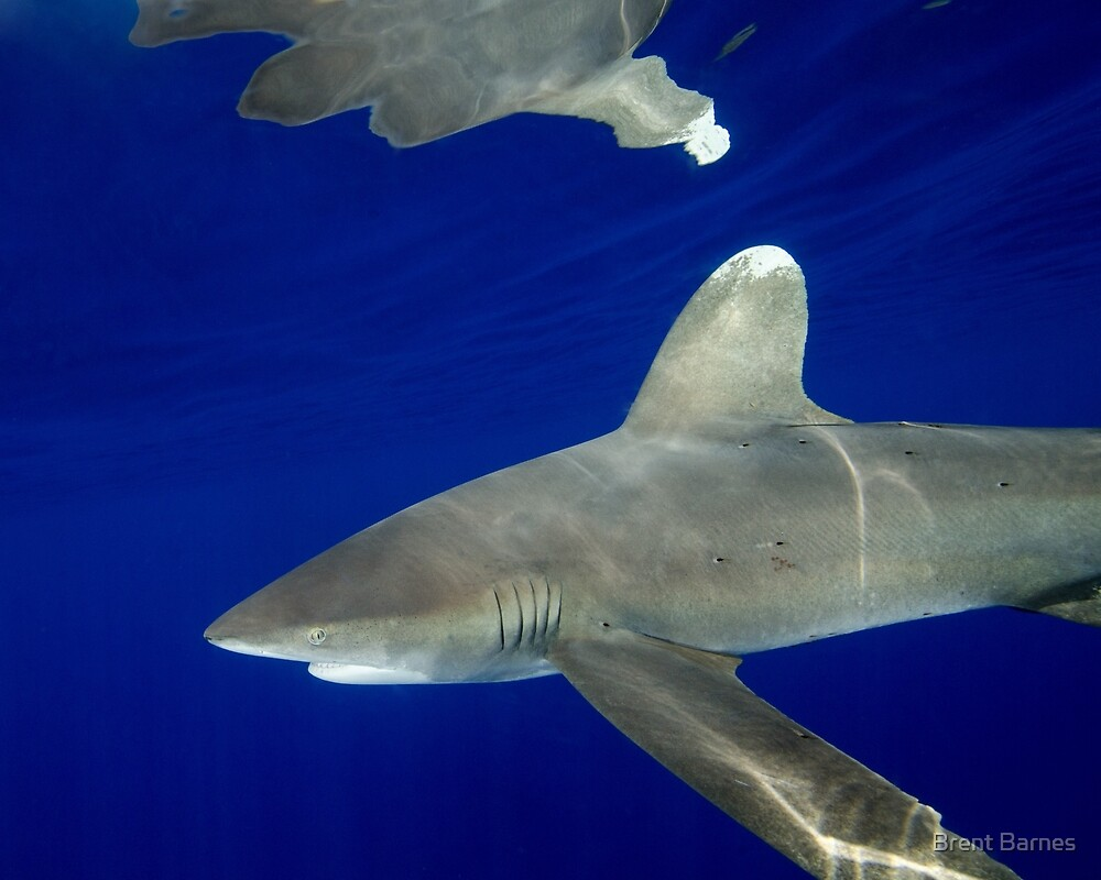 Oceanic White Tip Shark Reflections by Brent Barnes