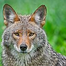 Coyote pretty by Daniel  Parent