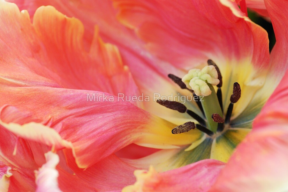 In the heart of a tulip by Mirka Rueda Rodriguez