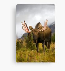 Inquisitive Moose Canvas Print