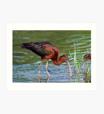 Glossy Ibis Foraging Art Print