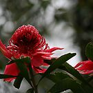 Waratahs in the rain by Aakheperure