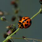 Variable Ladybird Beetle - Coelophora inaequalis by Gabrielle  Lees