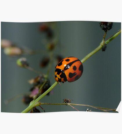Variable Ladybird Beetle - Coelophora inaequalis Poster