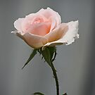 Pink Rose by Sea-Change