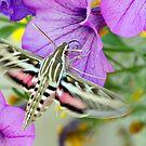Hummingbird Moth by A.M. Ruttle