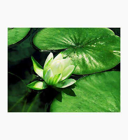 Beautiful Lilypad Photographic Print