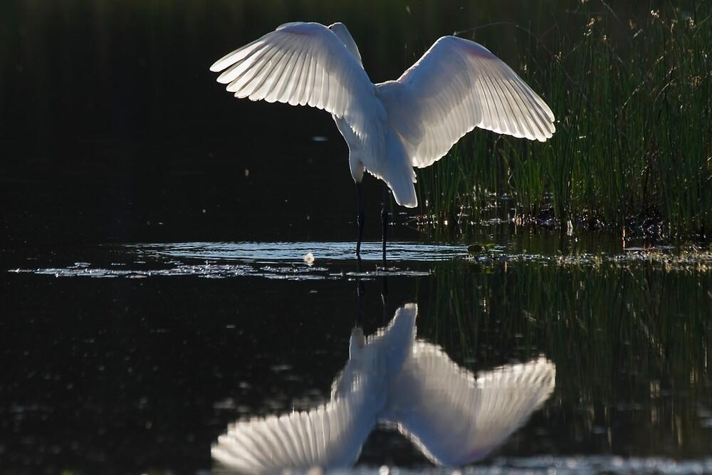 Angel Wings by byronbackyard